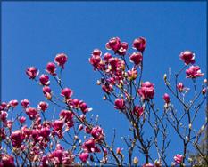 Blue-sky-blooms