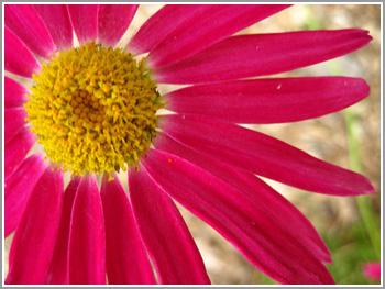 Hot-pink-flower