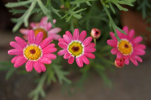 Valentine-flower