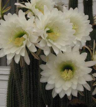 Cactusflower_1